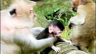 Mom Much Concern Jill Steal Her Baby, | Baby Monkey Hard Cling Mom During Walking.