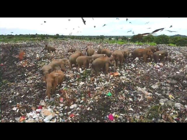 斯國野象群闖垃圾場覓食 塑料吞下肚