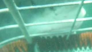 ホオジロザメ48