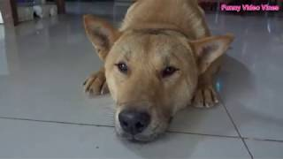Funny dogs prepare yourself to cry with laughter - A Funny Dog Videos Compilation 2019