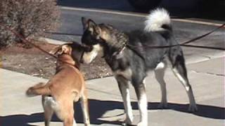 One Great Snark! (slow motion dog to dog meeting)