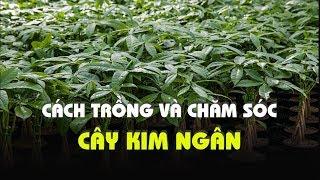 Cách trồng và chăm sóc cây Kim Ngân luôn xanh tốt
