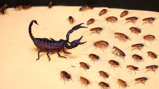 WHAT IF THE 1000 HUNGRY COCKROACHES SEES SCORPION? SCORPION VS 1000 COCKROACHES