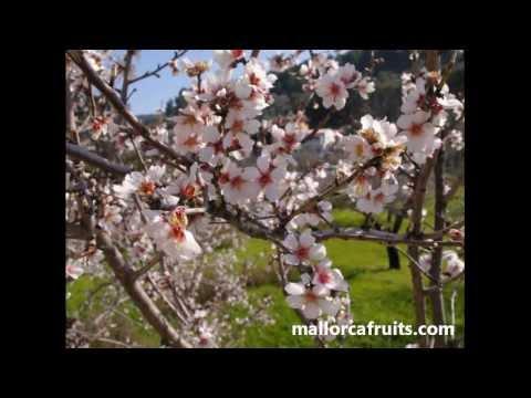 Mallorca Fruits, almendros en flor
