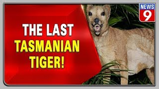 Watch this rare footage of the last 'Tasmanian tiger'..