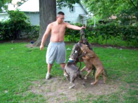 Razors Edge Pit Bull Terriers Youtube