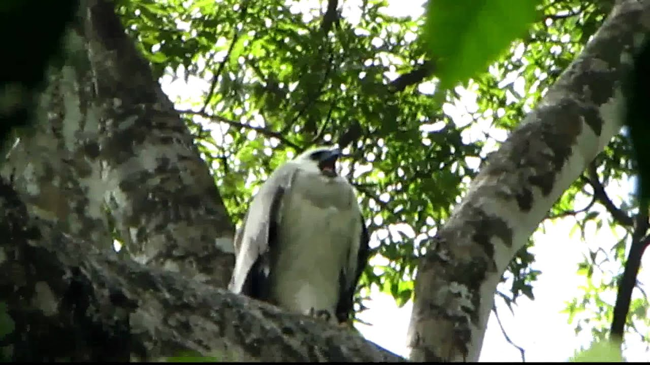 Harpy Eagle Calling for Food - YouTube
