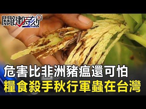 危害比非洲豬瘟還可怕 全世界頭大的「糧食殺手」秋行軍蟲在台灣!! 關鍵時刻20190611-6 馬西屏