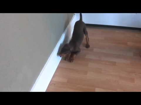 Lou the Doberman attacking the door stop