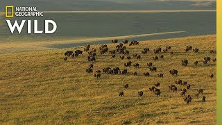5 Iconic Animals of Yellowstone | Nat Geo Wild