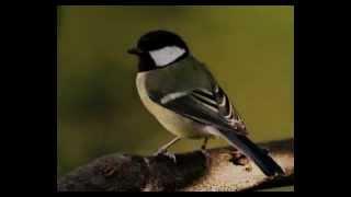 Bird Sound Effect