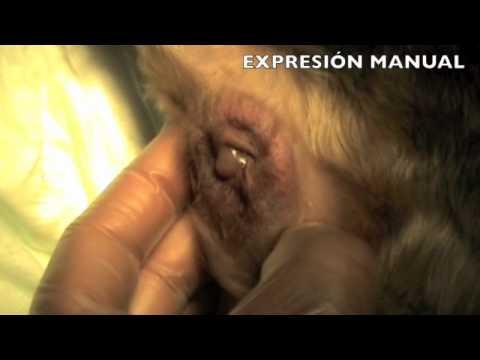 Pražnjenje sadržaja analnih vrećica