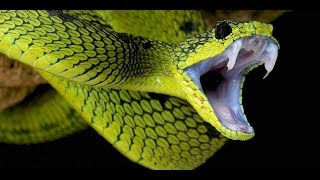 5 Notable Personalities Killed by Venomous Snake Bites