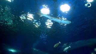 イタチザメの子供