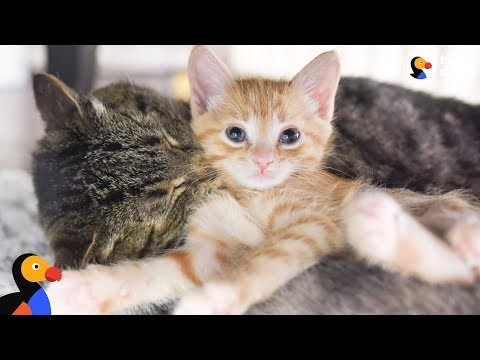 Grumpy Street Cat LOVES Being A Grandpa To Foster Kittens - GRANDPA MASON | The Dodo