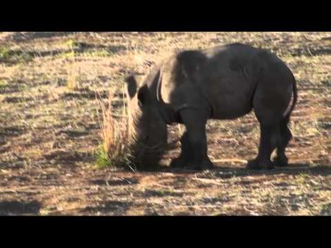 Rhino Poaching - Rhineo & Juliet - Love and Tragedy In Africa (Spanish)