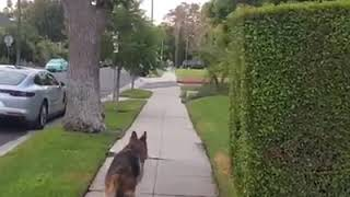German Sheperd realizes owner isnt behind him any more.