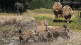 Lions Vs Hyenas Endless War - Hyenas attack Lioness but Male Lion comes for reve
