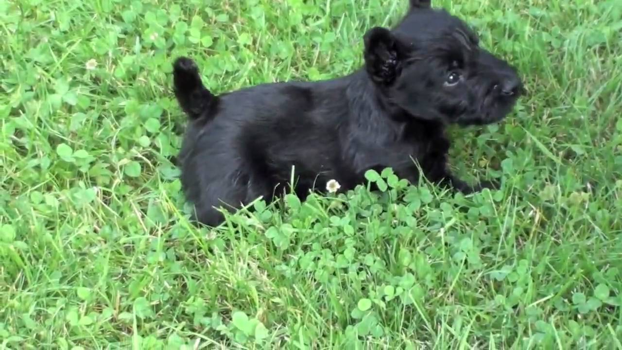 scotish terrier dogs scottish terrier puppies at four weeks and pepper youtube 8645