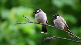 Birds Chirping 4am | Free Sound Effects | Animal Sounds