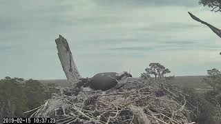 Rhett gets better at it after early morning ;) ~ ©CornellLabs, Savannah Ospreys