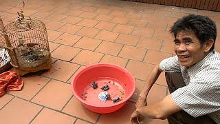 Kỹ thuật nuôi chim chích chòe lửa, chòe than sinh sản 0945287773  chim nuôi không phải hoang giã
