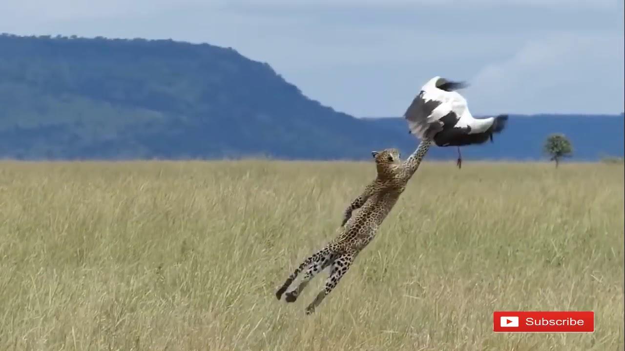 Most Amazing Attacks Of Leopard, Cheetah vs Bird, Eagle, Falcon 2018