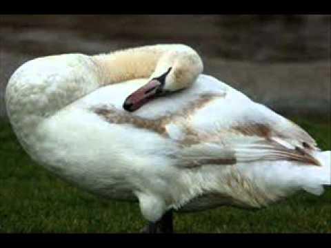 Los Cisnes Garzon y Collazos