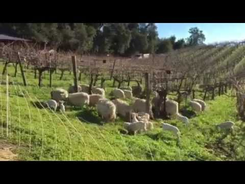 Benziger's sheep 2015