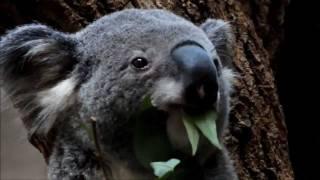 コアラのお食事