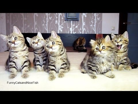 Chorus line of Cute and Funny Kittens performs Christmas dance