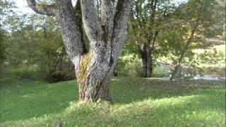 Uz kalna stāv vientulis ozols - The Lonely Oak on the Hill
