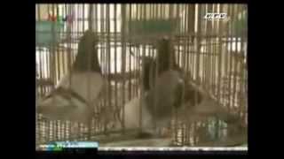 Kỹ Thuật Nuôi Chim Bồ Câu Pháp Sinh Sản Phần 2
