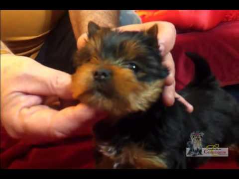 Worlds Smartest Cutest Puppy Misa Minnie 31 Wks