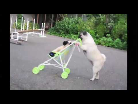 Pug puppy pushes baby stroller