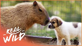 Capybara Adopts Orphan Puppies | Wild Things