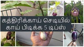 கத்திரிக்காய் செடியில் காய் பிடிக்க 5 டிப்ஸ் | 5 Tips to Grow Eggplant/ |Brinjal