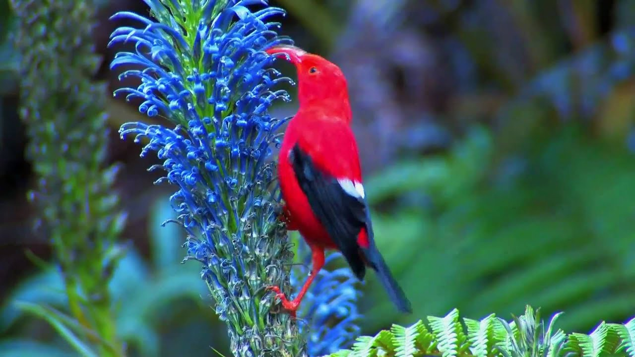 Hawaiian 'I'iwi Bird