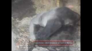 Seks na farmi 26.04.2013 - UŽIVO