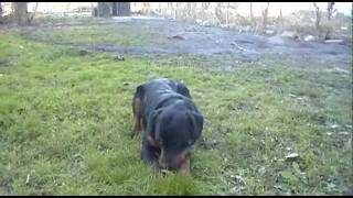 8 month old rottweiler in the yard