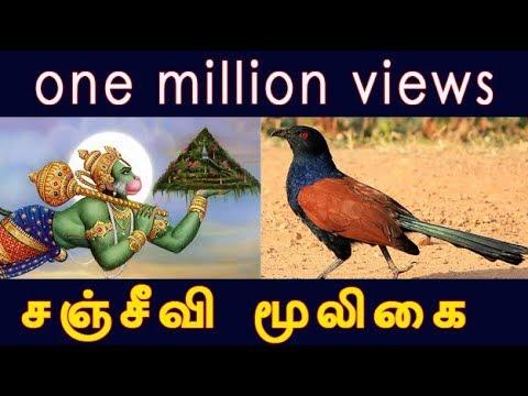 Image result for சஞ்சீவி வேர்