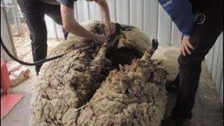Tìm thấy con cừu khổng lồ trên đồng cỏ, người dân mang nó về cạo lông, thật khó tin khi nhìn thấy!!