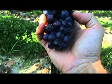 Angelini Estate Sangiovese Harvest 2014