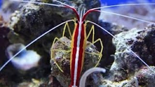 Cleaner Shrimp Have Terrible Vision  video