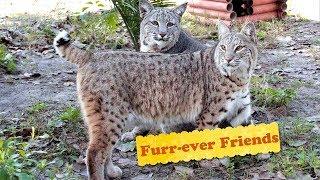 Bobcat 5 Year Anniversary - Furr-ever Friends