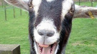 Funny Goats Screaming like Humans