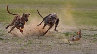 Thế Giới Động Vật   Cuộc Rượt Đuổi Siêu Kịch Tính Của Chó & Thỏ