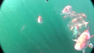 Red Snapper Underwater Footage.m4v