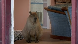 Gari the Capybara Puts the 'Cute' in -- 'Rodent'?
