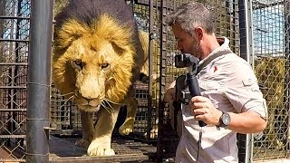 Lions Need Patience   The Lion Whisperer